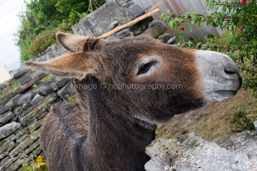 Donkey looking over a wall on Inis Oirr the Aran Islands Galway Ireland
