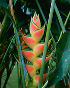 Heliconia, Hawaii<br />