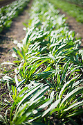 Farm field rows of Puntarella, a chicory during a windy day at Dancing Roots Farm.