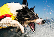 Cooper, a Border Collie bites at a boat wake while on the Columbia River. The Columbia is slowly rising after summer rainfall deficits dropped river levels to dangerous lows. For safety's sake, Cooper always wears his life jacket when boating.