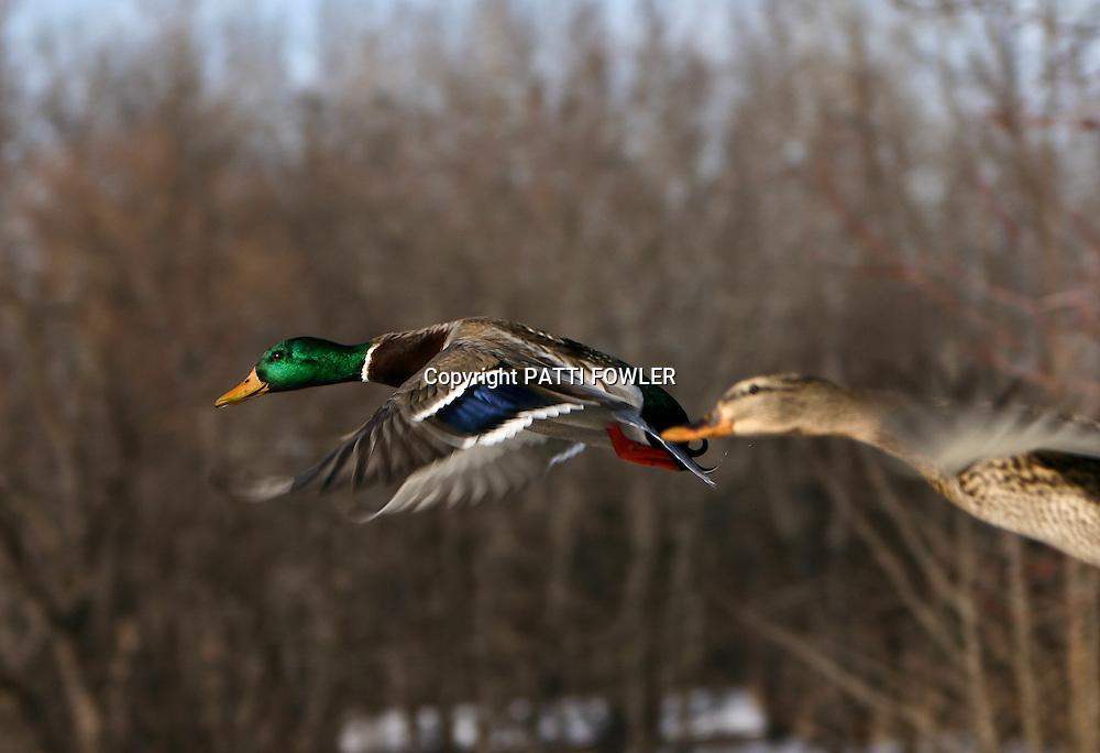 Drake and hen mallard in flight