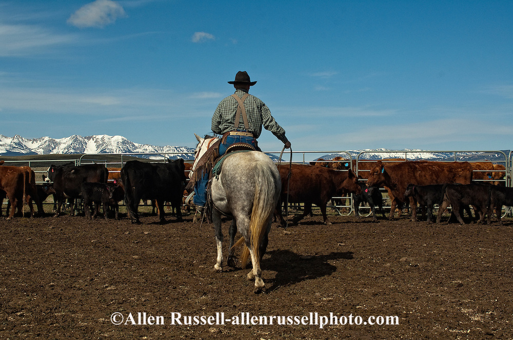 Cowboy Randy Jackson ropes and drags calves to the fire to be branded, Wilsall, Montana, Bridger Mountains