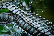 The American Alligator, sometimes referred to colloquially as a gator or common alligator, is a large crocodilian reptile endemic to the southeastern United States.