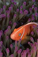 Pink anmonefish (Amphiprion perideraion).  Vatu-i-Ra Island, Fiji.  Oct 2003.