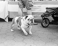 "Bulldog Ollie I met at the event ""My Dog Loves Central Park"" in October of 2013"