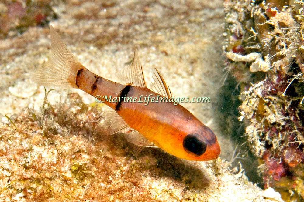 Belted Cardinalfish hide during day in dard recesses in reefs, often form loose aggregations in caves in Tropical West Atlantic; picture takenLittle Cayman.