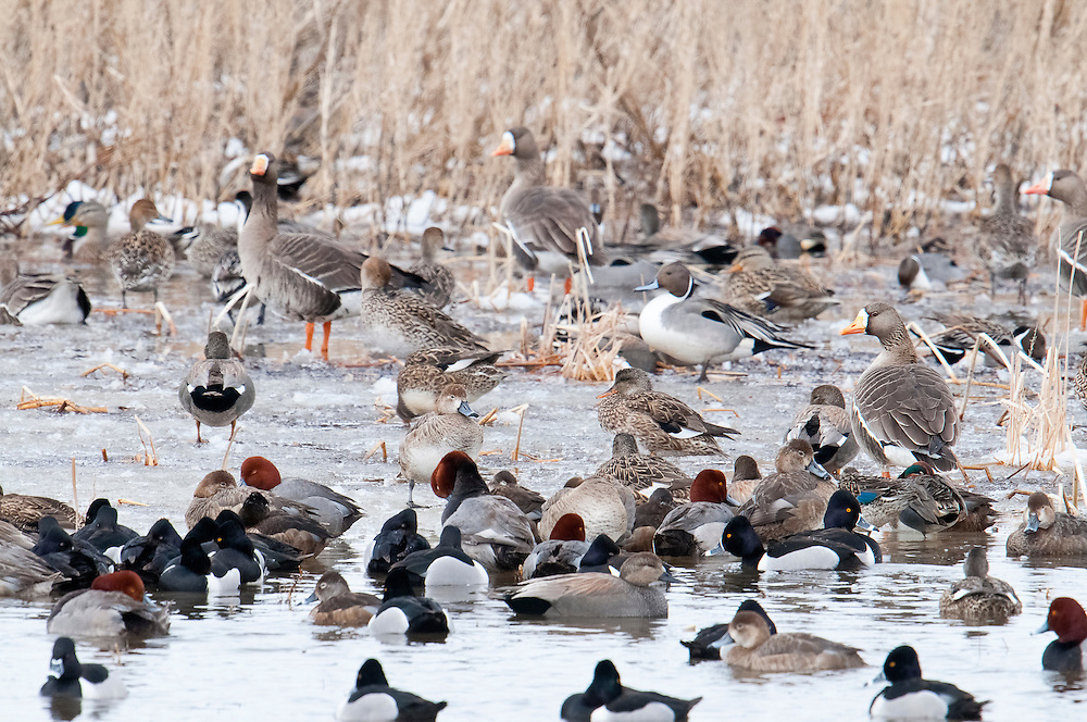 White-fronted Geese, Northern Pintails, Mallards, Gadwalls, Green-winged Teal, Redheads, Ring-necked Ducks, South Dakota