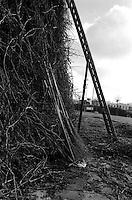 La scala e le scope di faggina adoperate durante la costruzione della FÚcara.  La FÚcara, la cui costruzione inizia la mattina del 7 gennaio, Ë dedicata a Sant'Antonio Abate ed Ë costituita da un falÚ realizzato con fascine di tralci di vite (sarmente) recuperate dalla rimonta dei vigneti. Sulla cima della fÚcara, la mattina della Vigilia, viene issata un'artistica bandiera sulla quale Ë l'immagine del Santo. L'accensione della FÚcara avviene attraverso una batteria-fiaccolata. Una volta accesa, la FÚcara arde tutta la notte dando vita al fenomeno detto delle fasciddre, le faville che, nell'aria, somigliano ad una pioggia di fuoco. (fonte http://www.comune.novoli.le.it/focara/storia_focara.php).