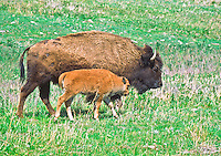 Cow Bison (Bison bison) with her calf.  Custer State Park, South Dakota.