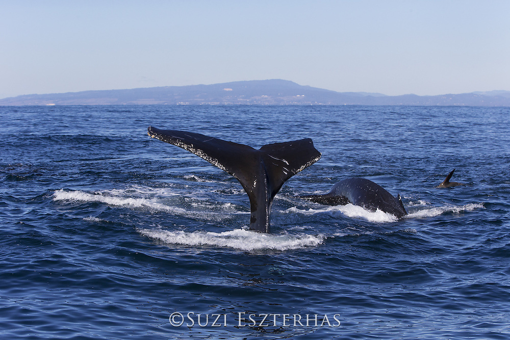 Humpback Whale<br /> Megaptera novaeangliae<br /> Diving<br /> Monterey Bay, California