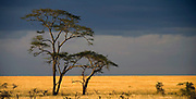 Acasia trees on the Serengeti plains as a thunderstorm builds up.