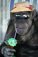 EXCLUSIVE 24th June 2008, Palm Springs, California. 76-year-old Cheeta, star of many Hollywood Tarzan films of the 1930s and 1940s, is coming out of retirement. Recognized as the oldest chimpanzee alive, the Palm Springs resident has just signed a record deal. To celebrate the signing, Cheeta made a promo music video to accompany his cover of the 1975 hit song 'Convoy'. PHOTO &copy; JOHN CHAPPLE / www.johnchapple.com <br /> .tel: +1-310-570-9100