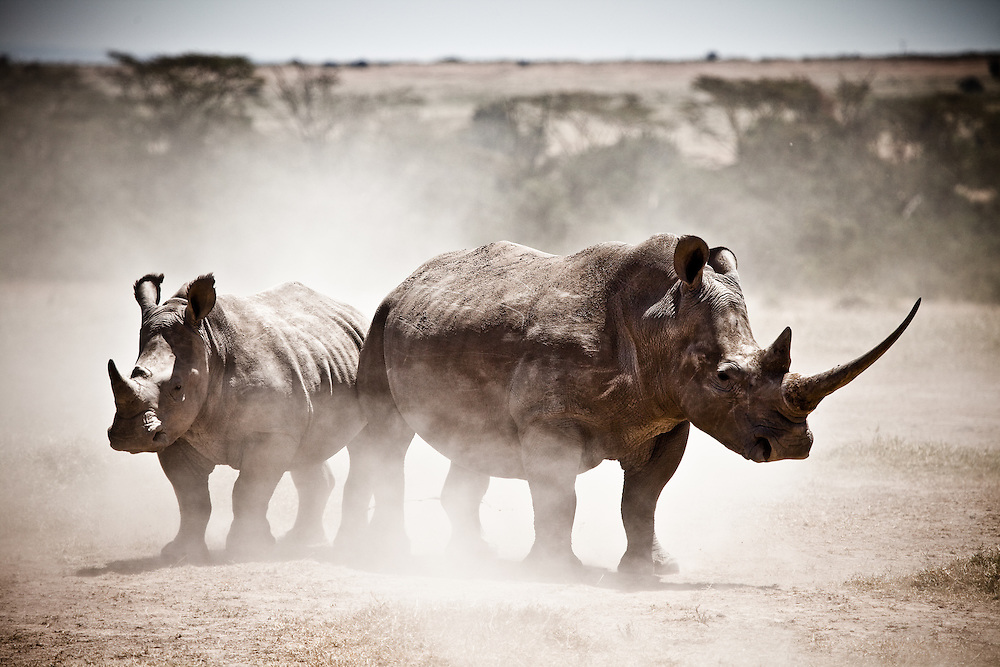White rhino at Solio