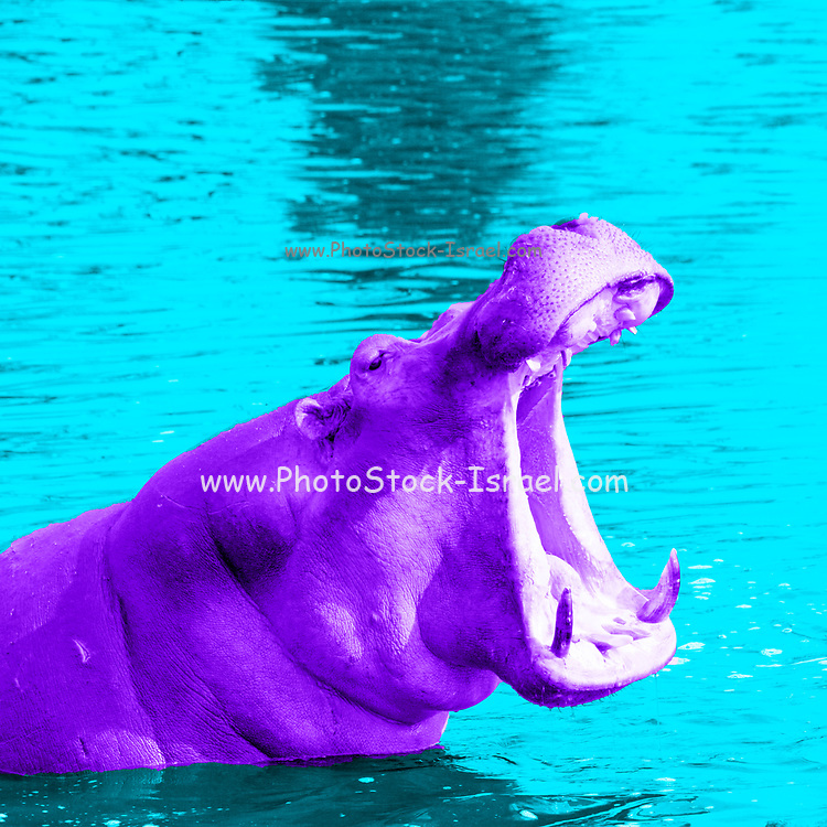 Digitally enhanced image of a Hippopotamus with mouth wide open in the water