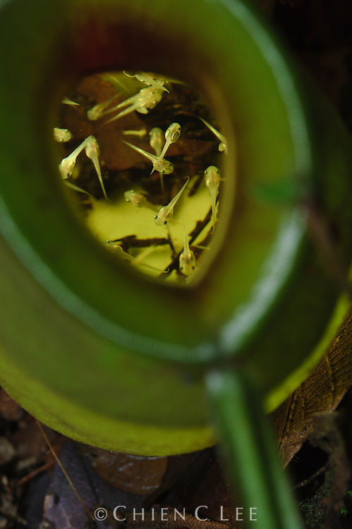 Tadpoles of the newly discovered Matang Narrow-mouthed Frog (Microhyla nepenthicola) in a pitcher of Nepenthes ampullaria.