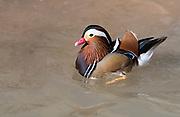 Male Mandarin Duck (Aix galericulata) from Wildlife World Zoo, Phoenix, Arizona, USA