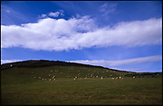 Sheep Grazing, Croyde, North Devon, 2011