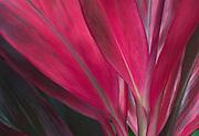 Red Ti leaves; National Tropical Botanical Garden - McBryde Garden, Lawai, Kauai, Hawaii.