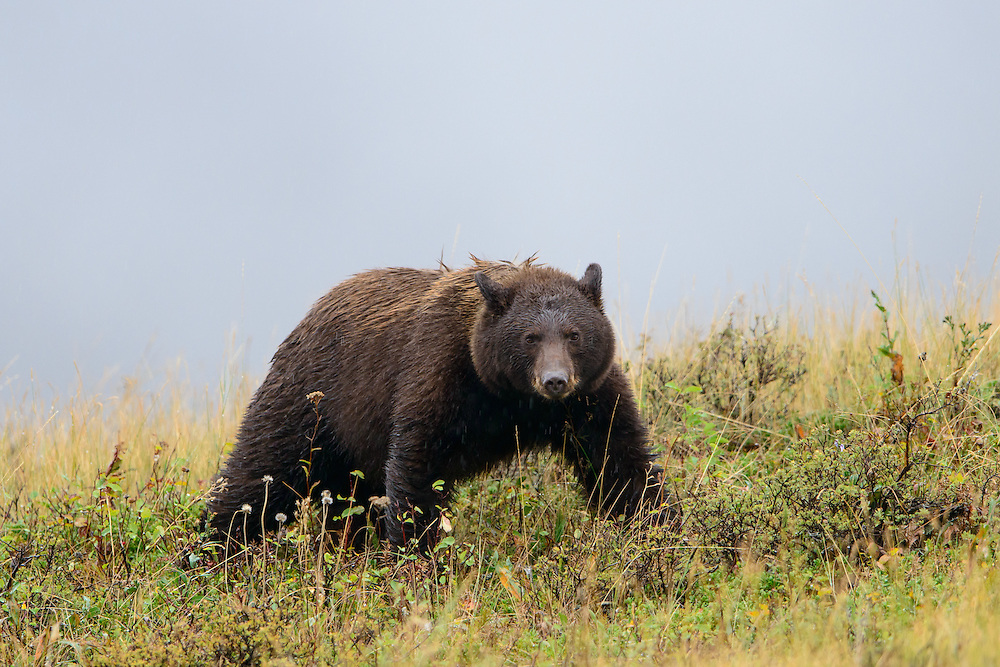 A black bear (Ursus americanus) in rain, Northern Rockies