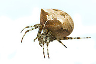 Cat-Faced Spider (Araneus gemmoides)<br /> United States: Wisconsin: Columbia Co.<br /> Wyocena<br /> 22-Sep-2017<br /> J.C. Abbott #2993