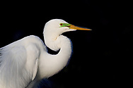 Portrait of a Great Egret in breeding colors