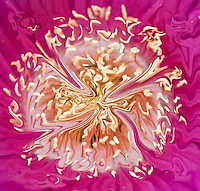 Abstract fractal fantasy: on pink background fluid floating shape looking like a four-leaved clover in golden color and white shades.