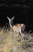 Red deer hind, female