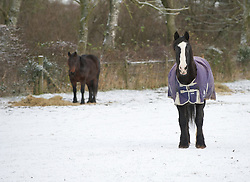 © Licensed to London News Pictures. 05/12/2012..Yorkshire, England..Horses in a snowy field in North Yorkshire following the overnight snow fall that brings the first signs of the wintery weather that is forecast for the rest of this week to the region...Photo credit : Ian Forsyth/LNP