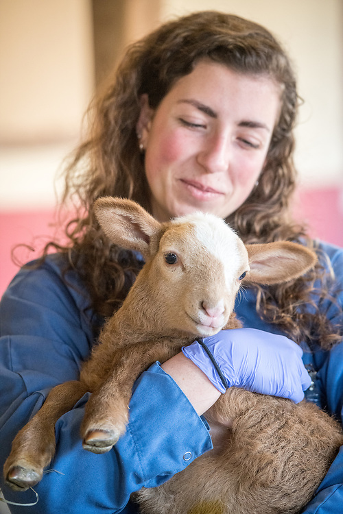 A young adult females looks down with joy and affection at lamb she is holding, College Park, Maryland