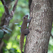 The grey-bellied squirrel (Callosciurus caniceps) is a species of rodent in the family Sciuridae. As suggested by its name, its belly is usually grey, though sometimes reddish on the sides. Depending on subspecies and season, the upperparts are grey, yellowish-olive or reddish.