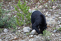 A American Black Bear (Ursus americanus)  roams a rocky hillside overturning rocks in search of moths in Banff National Park, Alberta