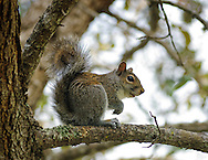 Squirrel sitting in a Live Oak tree in Ft Lauderdale,Florida.