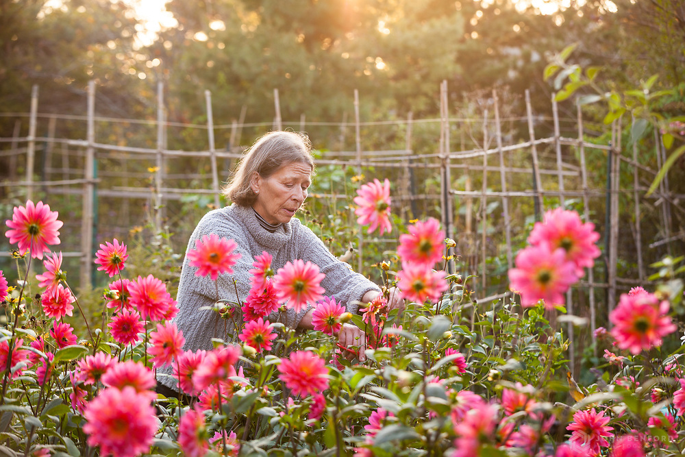 Landscape Designer and Restoration Horticulturist Cinda Gaynor cuts flowers in her gardens, Nantucket.
