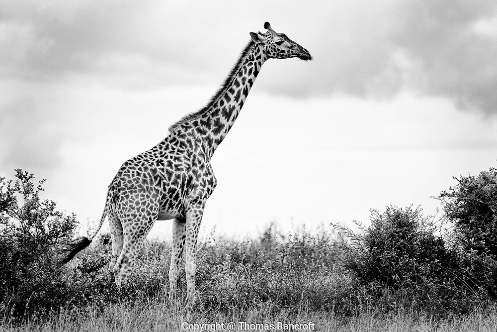 The pattern of dark and light on a giraffe is as unique as a human finger print. It allows giraffies to be individually identified.