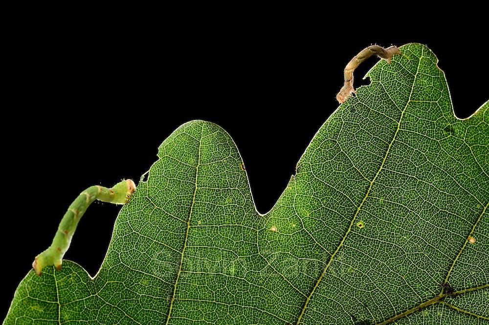 Raupe des Gepunkteten Eichen-Gürtelpuppenspanners (Cyclophora punctaria)