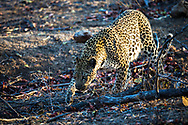 Leopard on the prowl in the bushveld of South Africa in Kruger National Park