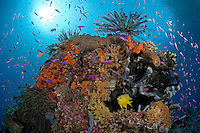 Thriving Coral Head with Crinoids, Anthias, and Golden Damsel