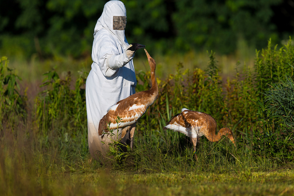 A costumed aviculturists feeds a juvenile Whooping Crane.