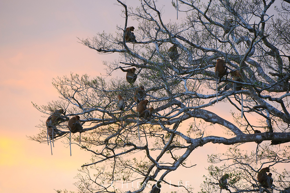 A large group of Proboscis Monkeys (Nasalis larvatus) prepares for sleep in a tree overhanging a river. Sabah, Malaysia.