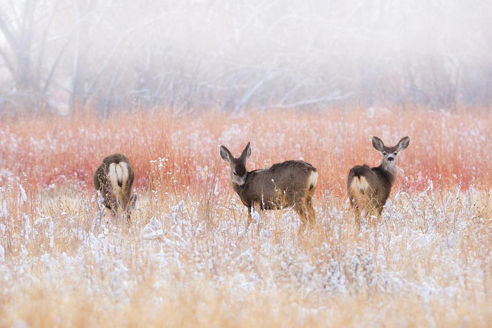 Three Mule Deer peacefully enjoying the soft winter snow.<br /> <br /> Camera <br /> NIKON D610<br /> <br /> Lens<br /> TAMRON 150-600mm