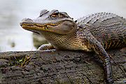 Juvenile alligator sitting on a log. <br /> Savannah,Georgia U.S.A