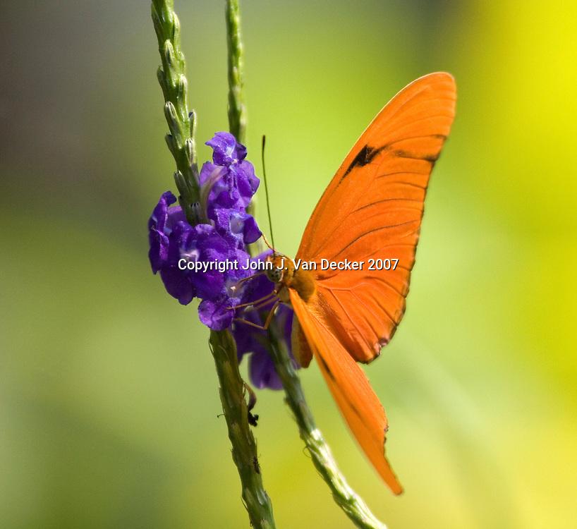 Julia Longwing butterfly feeding