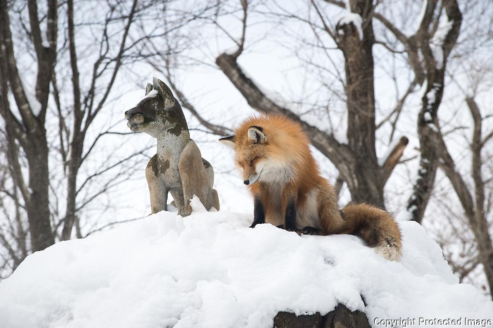 Foxes in Zao Fox Village,near the city Shiroishi in the mountains of Miyagi