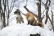 Foxes in Zao Fox Village,near the city Shiroishi in the mountains of Miyagi