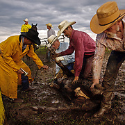 Cowboys wrestle with a calf, preparing it for vaccination, branding and the insertion of an implant growth stimulant at the Bar B ranch near Albia, Iowa.  Rainy conditions on this morning in August of 2008, made the task more difficult because of the slippery, muddy conditions.  Twice each year ranch owner Catherine Bay holds the roundup for new calves born to her herd of over 2,000 cattle.  From left are Riley Wheeler (holding the vaccine gun), Kenny Waterhouse (with implant tool), Steve Taylor and Mike Flattery (on horseback), Denny Amos, Doug Stark and Mike Moyle.