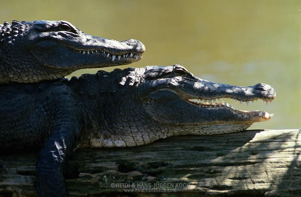 Vereinigte Staaten von Amerika, USA, Florida: amerikanischer Mississippi-Alligator (Alligator mississippiensis). Alligator-Paar beim Sonnenbad. Ein Tier liegt auf dem Ruecken des anderen. | United States of America, USA, Florida: American Alligator, Alligator mississippiensis, couple sunbathing on a trunk, one Alligator is laying over the other. |
