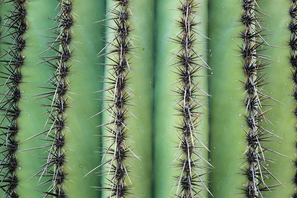 Detail of a saguaro cactus and it's thorns. Lost Dutchman State Park in Arizona.