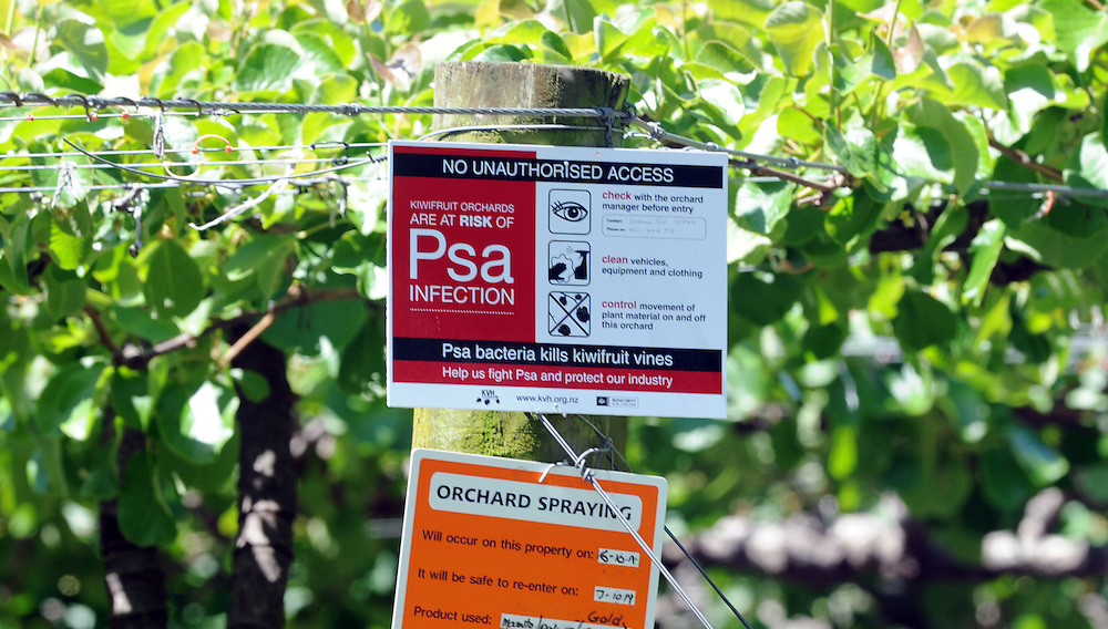 PSA signs on Kiwifruit vines, Te Puke, New Zealand, Wednesday, November 02, 2011. Credit:SNPA / Ross Setford