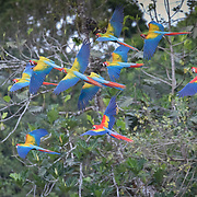 A Scarlet Macaw flies with a flock of hybrid Macaws in Costa Rica