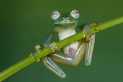 Glass Frog (Espadarana callistomma) Family Centrolenidae. CAPTIVE<br />